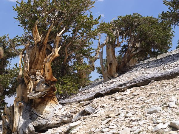 Ancient Bristlecone Pine forest on White Mountain